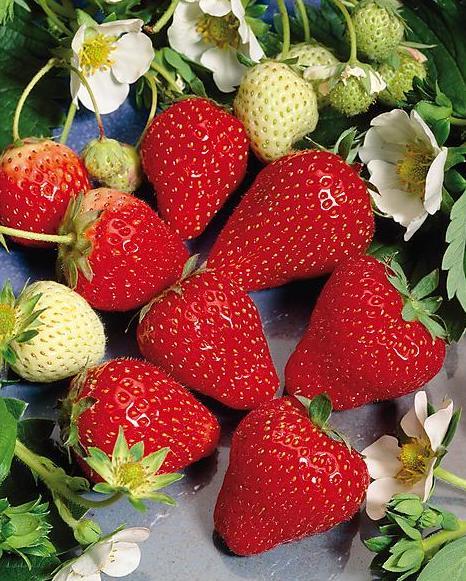 fraisier-clery